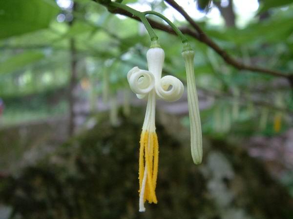 박쥐나무꽃